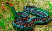 真实鸡冠蛇图片展示鸡冠蛇真的存在吗