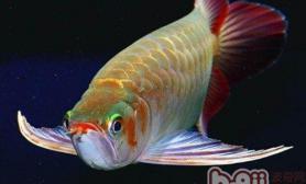 红龙鱼吃什么对发色好