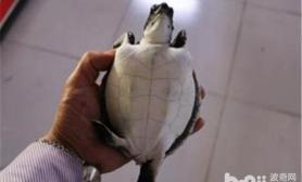 淡化海龟的真真假假