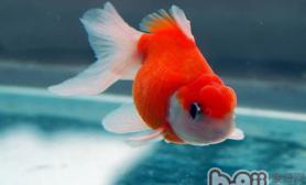 影响金鱼产卵的因素