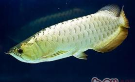 银龙鱼和小型鱼混养的注意事项