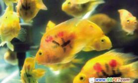文身鹦鹉鱼身价倍增有人喜欢有人怜(图)