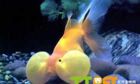 金鱼的水泡眼破损严重吗