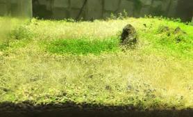 鱼缸造景大神帮忙看下剪完了的迷你矮还能长出来么?