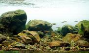 2015美国AGA水草造景大赛原生鱼缸组水草缸作品《芝林原生》获得优秀奖