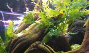 开缸半个月了水草缸开始爆藻证明了光照和肥力达到满足~
