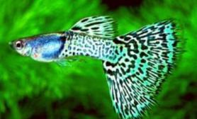 金属孔雀鱼的饲养细则