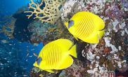 黄色蝴蝶鱼的外形特点