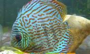 水温对热带鱼饲养有何影响