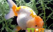 金鱼得了车轮虫病怎么治疗