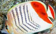 红尾蝶的品种简介