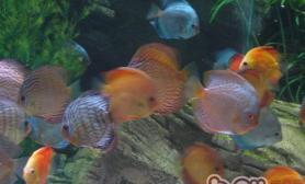 七彩神仙鱼的混养鱼种建议