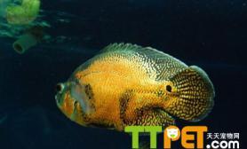 地图鱼不吃食怎么办怎么让它吃食
