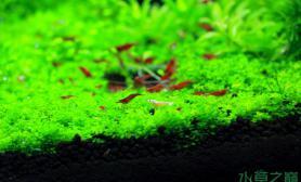 水草造景迷你矮配极火虾