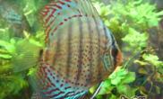 七彩神仙鱼的养殖水质管理