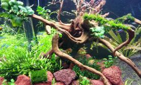 关于黑木蕨和细叶铁问题?