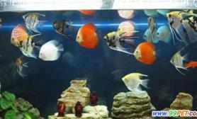 七彩鱼可以和什么鱼混养问答(图)