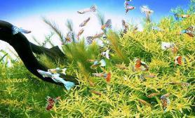 与孔雀鱼搭配造景的水草(图)