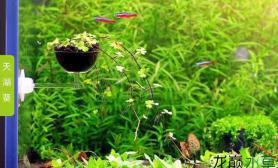 请教各位水草缸天湖葵要怎么养水草缸才能在缸内长成这种吊兰的效果?