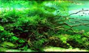 水草缸杜鹃根叉柱花细叶铁牛毛草