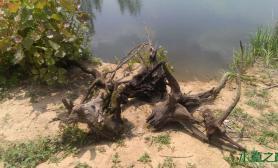[原创]意外的收获,捡到大沉木