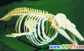 惊现美人鱼骸骨原来是减肥过头的白鲸(图)
