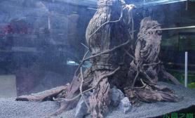 超级大水草缸造景水草缸粗大的树木沉木杜鹃根青龙石水草泥