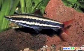 条纹铅笔鱼的习性特点(图)