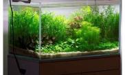 虎皮鱼在水草缸中也是漂亮的要命鱼缸水族箱