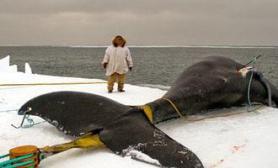 爱斯基摩人强悍狩猎鲸鱼(多图)