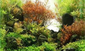 小缸也能做荷兰式风格水草造景