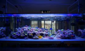 昆明暮色迷情SPS缸大气海水珊瑚