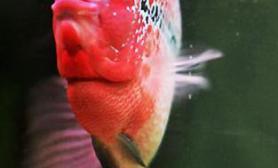 教你区分罗汉鱼水头与肉头(图)
