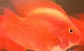 高密度饲养鹦鹉鱼的秘密