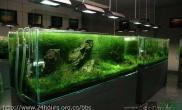 这个后景草好漂亮鱼缸水族箱