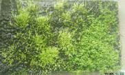 水草造景挖耳草转陆实验