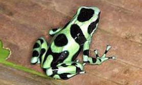 迷彩箭毒蛙GreenandBlackPoisonDartfrog