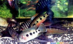 养殖淡水鱼小技巧(图)