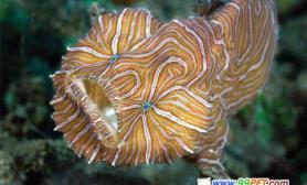 印尼新种怪鱼眼睛像人向前看(多图)