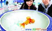 金鱼锦鲤今天在京选美(图)