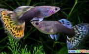 孔雀鱼母鱼为什么会吃小鱼问答(图)
