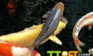 锦鲤鱼常见病治疗方法