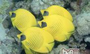 黄色蝴蝶鱼的喂食要点