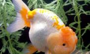 兰寿金鱼的饲养管理方法(图)