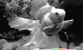 鱼脑不简单堪比猴子和初生婴儿(图)