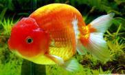 家里养金鱼也能赚钱福州金鱼价格飙升(图)
