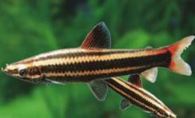 铅笔鱼的饲养与管理(图)