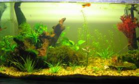 60小缸水草缸今天野采了一大片凤尾苔
