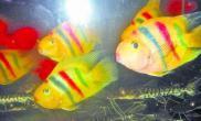 观赏鱼激光美容增加卖相抬价格(图)