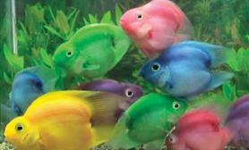 火鹤鱼有哪些品种类型(图)